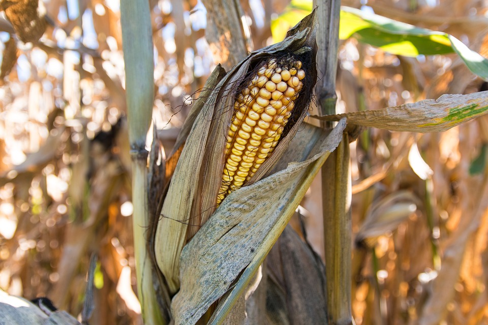 "U.S. average corn yield was estimated today at 169.5 bushels per acre, down from last year's record 174.6. This is the first report of the year based on actual survey results rather than the previous 170.1 bushels trend yield used in earlier WASDE projections.      Yield projections were generally higher than last year in the south and east, and lower in the central and western Corn Belt.  North Dakota and South Dakota saw the largest projected decrease in average yield from last year at 37 and 21 bushels, respectively. Alabama saw the largest increase in average yield at plus 45 bushels per acre.     Based on the new yield estimates, American farmers are projected to produce a total corn crop of 14.2 billion bushels in 2017, down 995 million bushels from last year's record 15.1 billion bushels. This new crop production estimate is 100 million bushels lower than the July projection.     ""Frankly, this is not great news for corn farmers. We have seen significant weather issues this year starting with excessive rains that impacted planting and now significant drought hitting several areas including the central and northwest Corn Belt states,"" said National Corn Growers Association President Wesley Spurlock. ""Despite this smaller crop, the overall corn supply remains large due to last year's crop. When you combine the drought, current low prices, and little growth in demand, many farmers will feel the economic impact.""     Feed and residual use and export demand were both lowered 25 million bushels in the 2017-18 marketing year, resulting in a 50 million bushel increase in carry-out. Average farm price held steady at $3.30 per bushel, significantly below most paLATEST CROP REPORT REFLECTS SHRINKING CORN CROP roducers' cost of production."